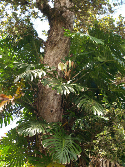 Kalopa_monstera_fruit_up_on_tree