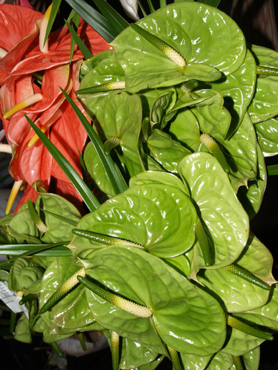 Hilo_market_anthuriums_green_and_pi