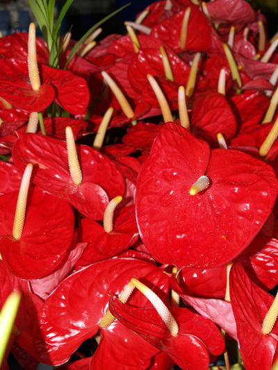 Hilo_market_red_anthuriums_sm