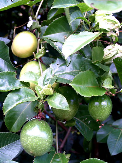 Passion_fruit_bunch_growing_on_vine