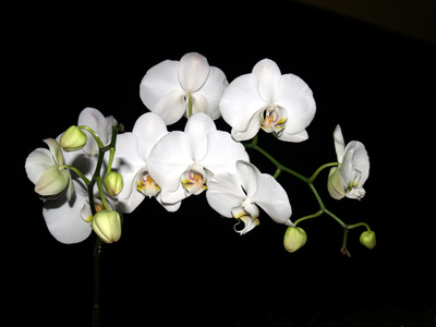 Christmas_06_sues_orchids_phales_smaller