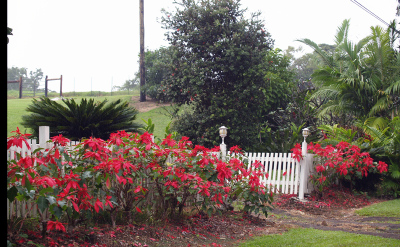 Poinsettia_hedge_old_mamalahoa_umauma_ar